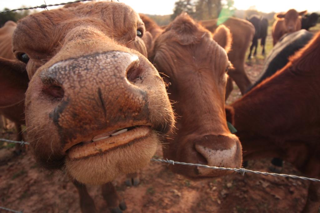 cow-teeth