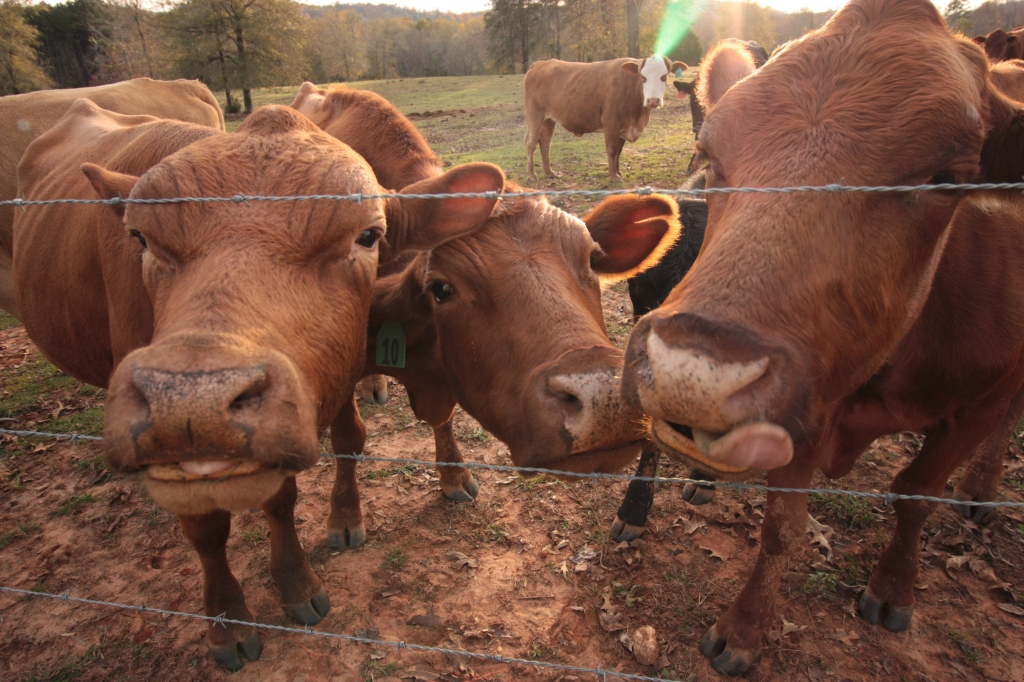 cows-at-the-fence-2